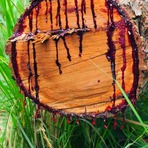 A Árvore da Madeira Sangrenta