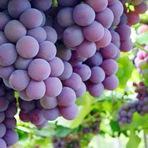 Curiosidades - Conheça o poder da uva para sua saúde!