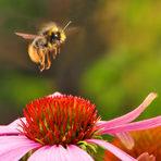Fim do habitat das abelhas e zangões