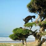 Cabras que pastam em cima das árvores, Acredite é verdade .