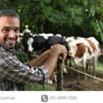 Vacas meio-sangue produzem mais leite? Confira