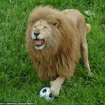 Conheça Triton, o leão que joga futebol