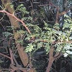 Acácia - Leguminosas Mimosídeas