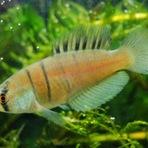 Descoberta nova espécie de peixe em poça de água doce no sul do Brasil