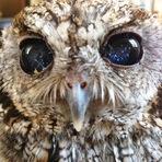 Animais - Conheça Zeus, a coruja cega que tem estrelas em seus olhos