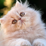 Animais - Gato Persa , lindo ,leve e macio
