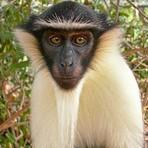 Meio ambiente - Mais da metade dos primatas do mundo está sob risco de extinção