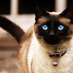Animais - Gato Siamês, protegido pelo Rei