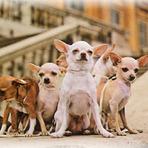 Animais - Chihuahua a boa vida