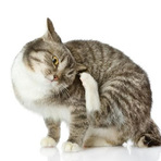 As pulgas podem representar perigo á saúde do seu gato