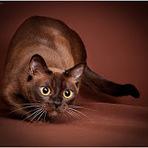 Animais - Gato Birmanês macio como a zibelina