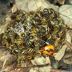 Como pequenas abelhas conseguem cozinhar vespas assassinas