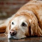 15 Razões para Adotar um Cachorro Adulto ao Invés de Um Filhote