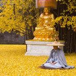 A chuva de ouro da árvore de ginkgo