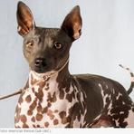 Novas raças de cães é reconhecida por organização americana
