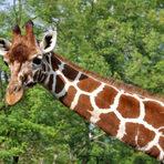 Animais - A evolução do pescoço das Girafas