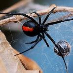 Top 5 aranhas mais venenosas do mundo