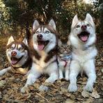 Uma amizade de uma gata de rua que foi adotada por três husky