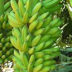 Internacional - Bananas correm risco de extinção