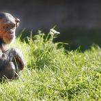 Curiosidades -  O Psicólogo Que Adotou um Chimpanzé