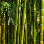 Meio ambiente - As sete verdades do bambu