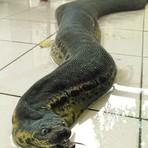 Curiosidades - Criatura apelidada de 'sanguessuga gigante' causa pânico na Malásia