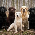 Animais - Labrador o companheiro charmoso