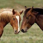 Opinião e Notícias - Estudo revela que cavalos podem reconhecer emoções humanas